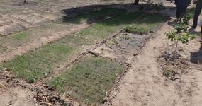 Les oignons à l'état de plantons