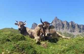 Horn-Kühe und Ziegen
